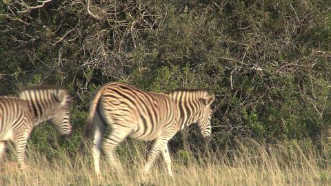 Zebras in grassland Stock Video Footage