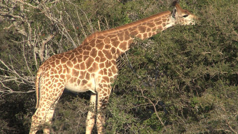 Giraffes eating Stock Video Footage