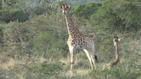Giraffes, mother and child Stock Video Footage