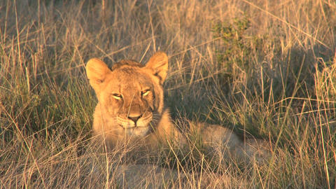 Lion relaxing in the sun Footage