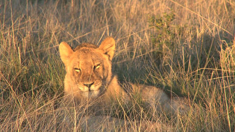 Lion relaxing in the sun Stock Video Footage
