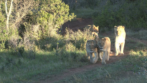 Group of lions passing by Footage