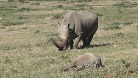 Rhinos Eating Grass, Baby stock footage