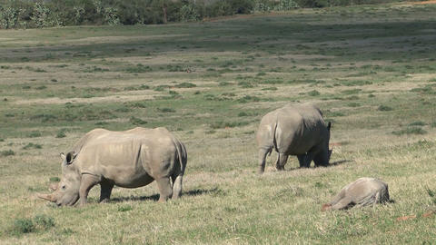 Rhinos Eating Grass, little one Stock Video Footage