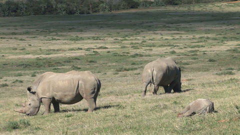 Rhinos Eating Grass, little one Footage