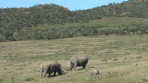 Rhinos Eating Grass Stock Video Footage