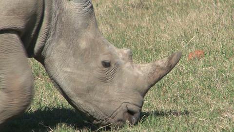 Rhinos Eating Grass Footage