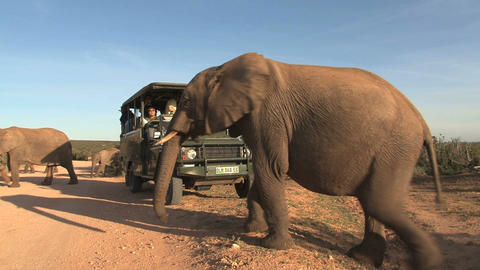 Elephant passing by at car with tourists Footage