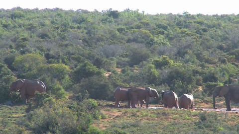 Big group of elephants walking in landscape Footage