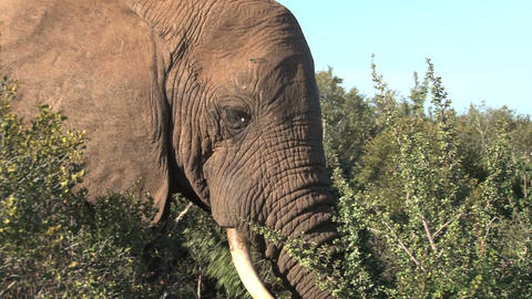 Elephant eating Stock Video Footage