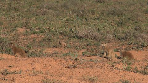 Meerkats South Africa Wildlife Footage