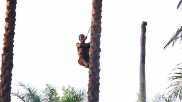 Climing Palm tree for Palmwine Africa Stock Video Footage