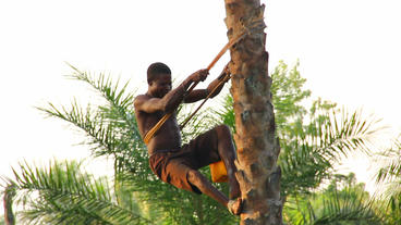 Climing Palm tree for Palmwine Africa Footage