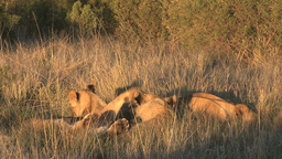 Lions group playing in the sun Footage