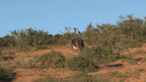 Ostrich Stock Video Footage