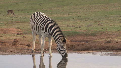 Zebra at pond drinking Footage