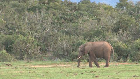 Elephant in grassland Stock Video Footage