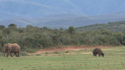 Elephant and buffalos Footage