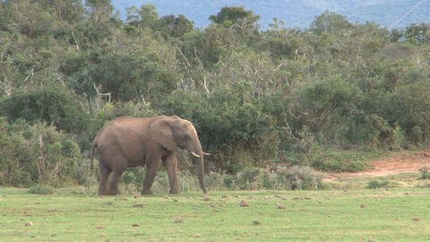 Elephant walking Stock Video Footage