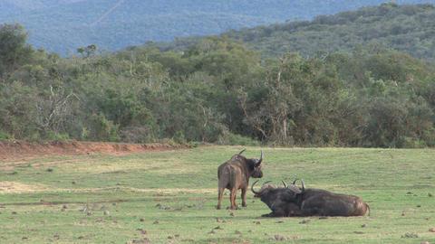 Group of buffalos Stock Video Footage