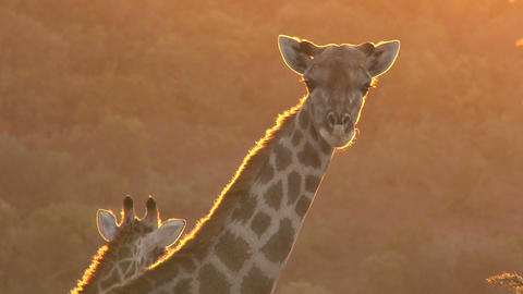 Giraffe looking, sunset Footage