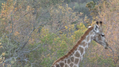 Giraffe eating Stock Video Footage