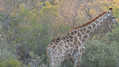 Giraffe eating Footage