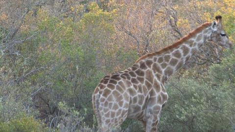 Giraffe eating Footage