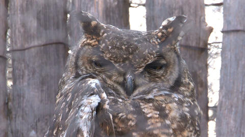 South African Owl Stock Video Footage