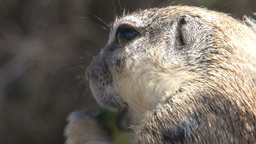 Big Squirrel, South Africa Wildlife Stock Video Footage
