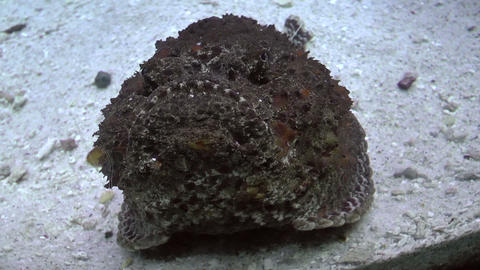 estuarine stonefish Footage