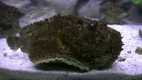 estuarine stonefish side view Footage