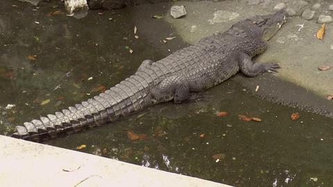 huge crocodile on pond Footage