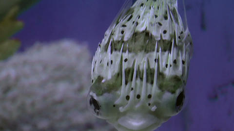 Long Spine Porcupine Fish stock footage