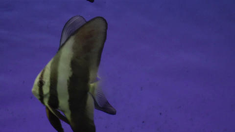 longfin batfish Stock Video Footage