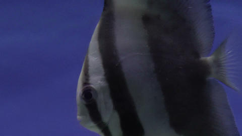 Longfin Batfish stock footage