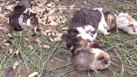 guinea pigs eating Footage