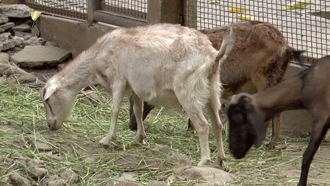 herd of goat Stock Video Footage