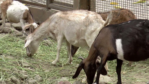 herd of goat Footage