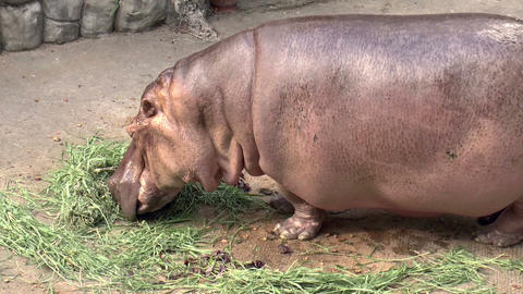 hippo eating grass Stock Video Footage