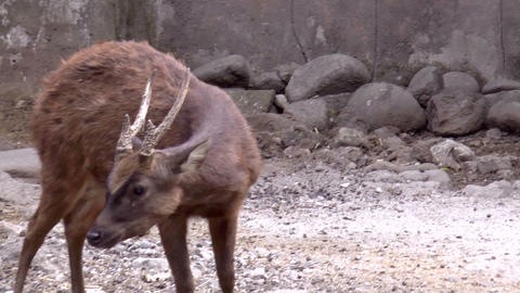 deer Footage
