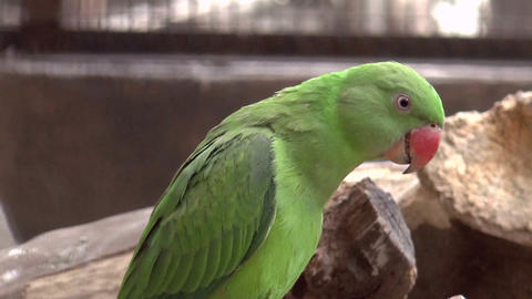 green parrot Stock Video Footage