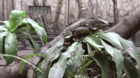 green iguana on tree trunk Stock Video Footage