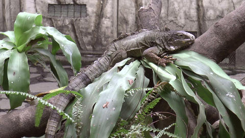 green iguana on tree trunk Footage