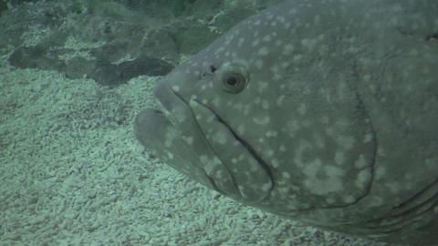 Huge Fish Closeup stock footage