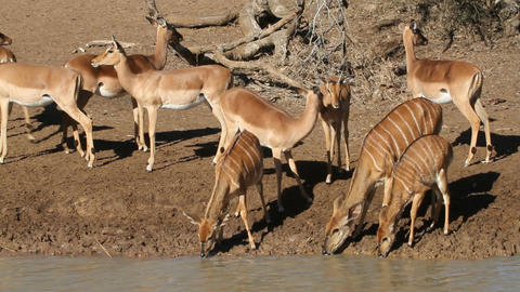Antelopes drinking water Stock Video Footage