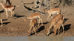 Antelopes drinking water Footage