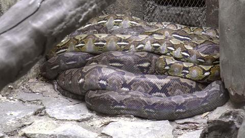 huge python resting Footage
