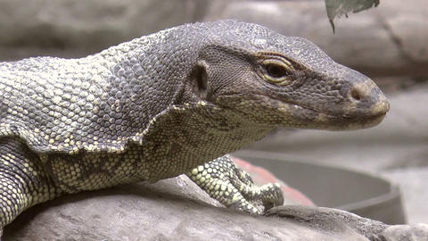 monitor lizard zoom out Footage