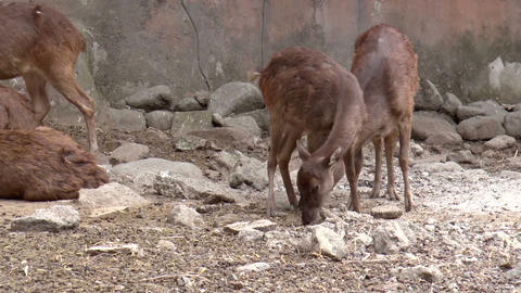 philippine deer Footage